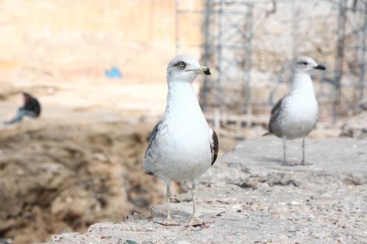 Seagulls in Essaouira